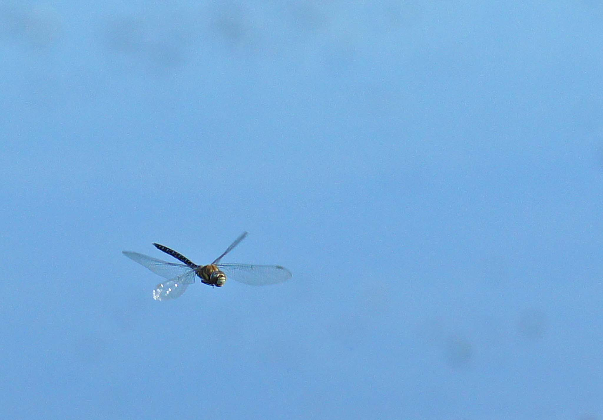 Lucky shot of a dragonfly.